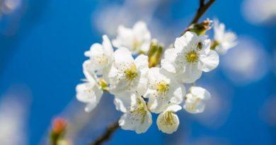 trešnja cvijet