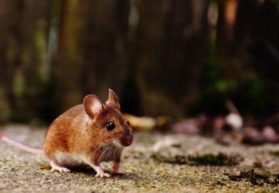 Oprezno! U prirodi hara mišja groznica, a vreba i na tavanu…