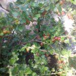 Ogrozd – malena bobica za zdravlje!