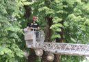 Orezivanje drveća u Frankopanskom kaštelu