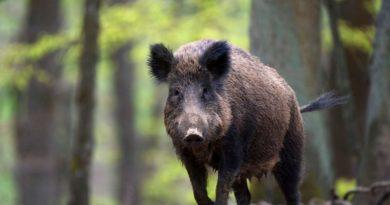 divlja svinja vepar