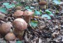 Sakupljanje gljiva – treba li dozvola?