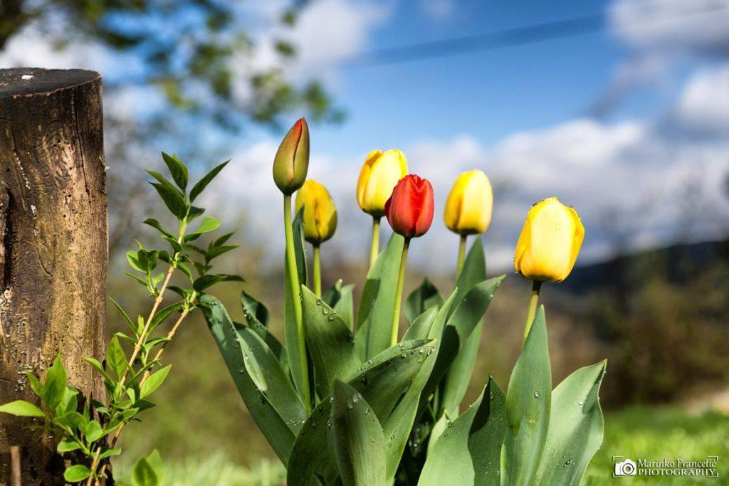 marinko tulipani