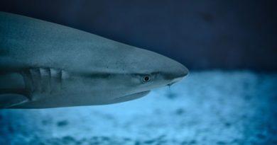 morski pas shark