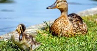 divlja patka ist
