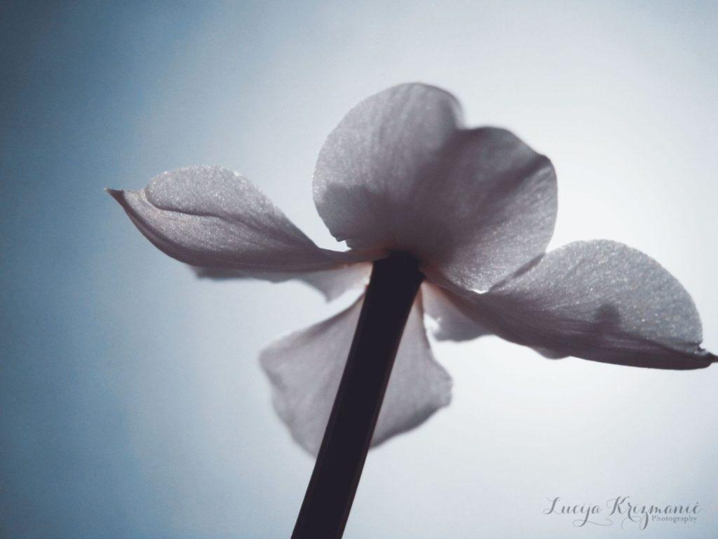 luce cvijet
