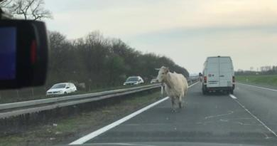 krave na cesti ist