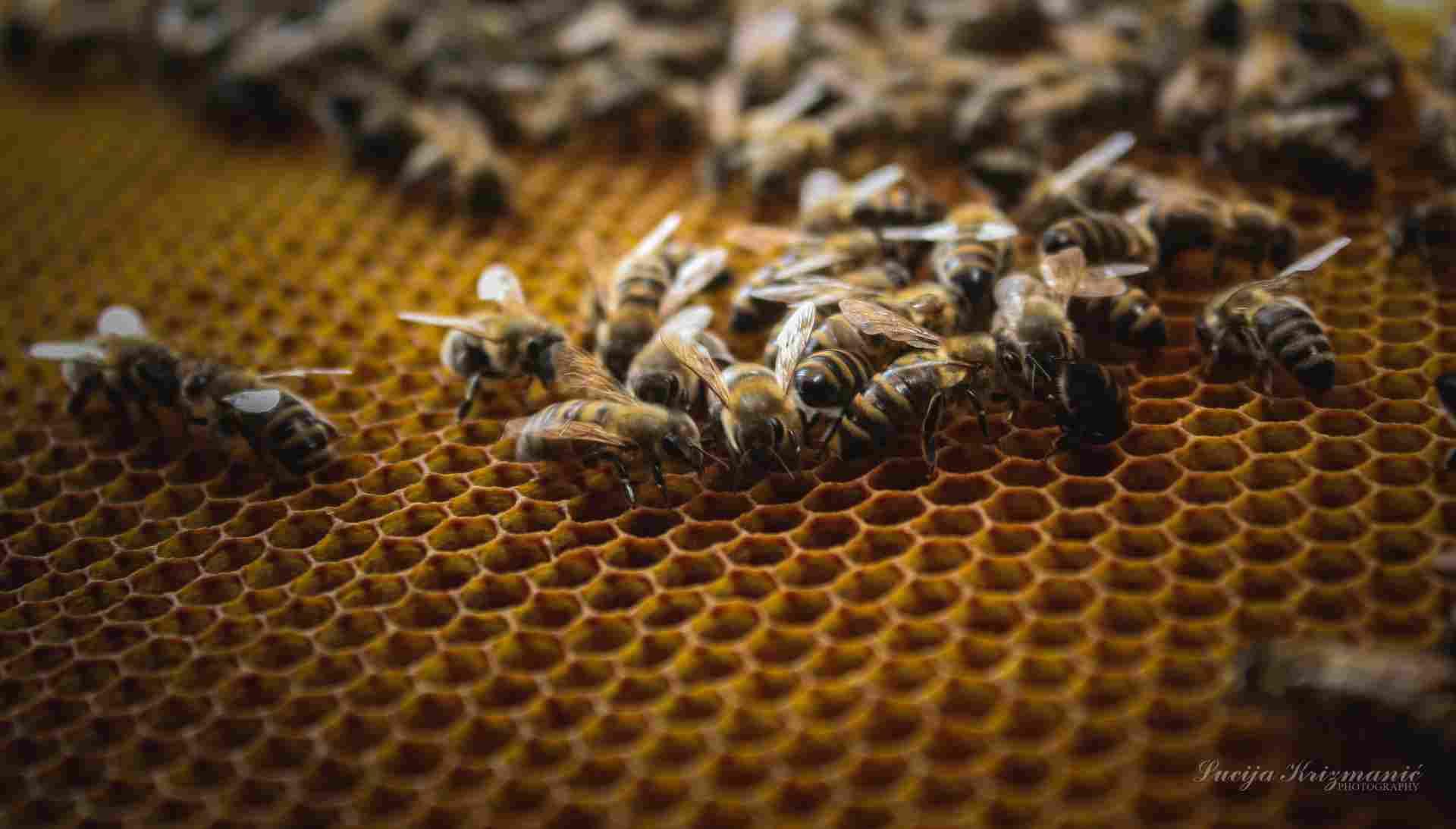 lucija pčele b