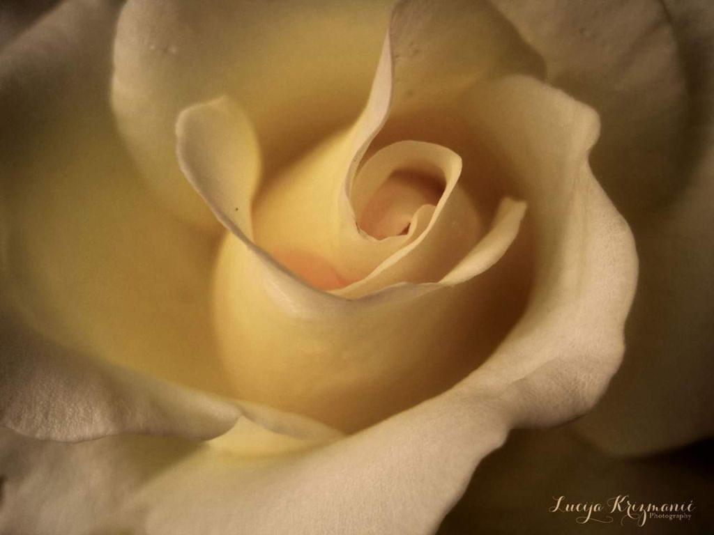 Luce ruža ist