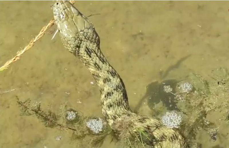 zmija ribarica ist
