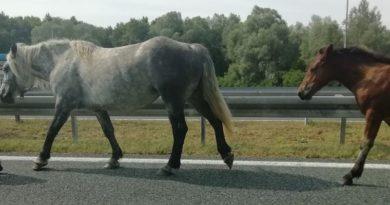 konji na autocesti ist