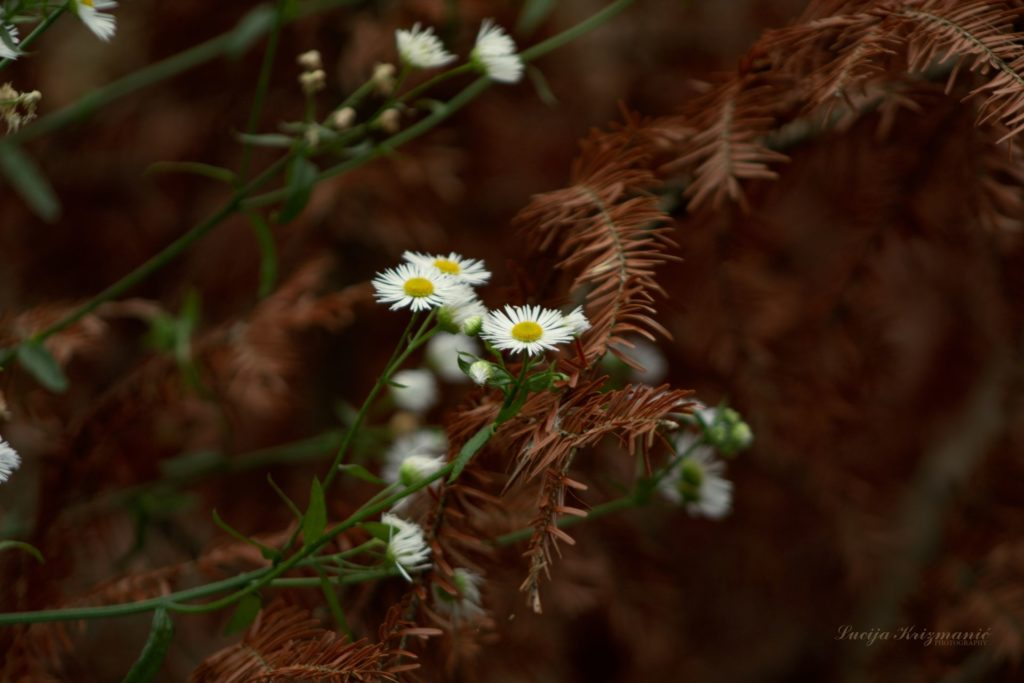luce cvijet b