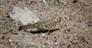 grasshopper-skakavac ist