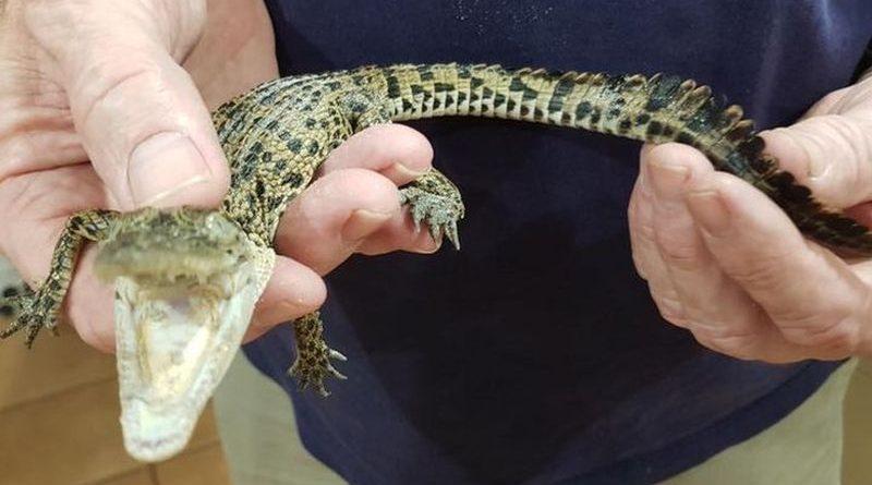 krokodil mali ist