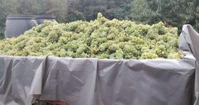 grožđe ist